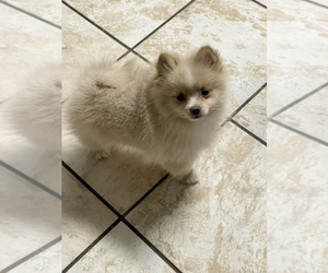 Pomeranian Puppy for sale in HICKORY HILL, TN, USA