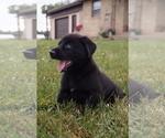 Puppy 1 Labrador Retriever-Siberian Husky Mix