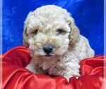 Small #14 Poodle (Miniature)