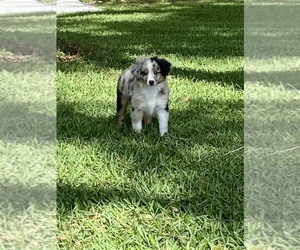 Miniature Australian Shepherd Puppy for Sale in ANTHONY, Florida USA