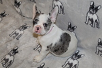 French Bulldog Puppy For Sale in RUSKIN, Florida,