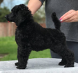 Poodle (Standard) Puppy For Sale in STOCKTON, California,
