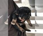 Small #1 Tibetan Mastiff