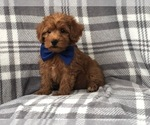 Small Photo #3 Shih Tzu-Yorkie-Poo Mix Puppy For Sale in LAKELAND, FL, USA