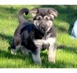 German Shepherd Dog Puppy For Sale in SAN FRANCISCO, CA, USA