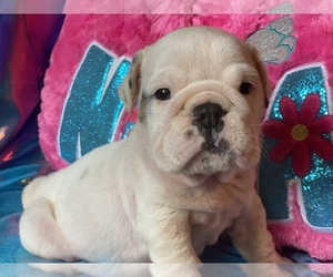 English Bulldog Puppy for sale in HAMDEN, CT, USA