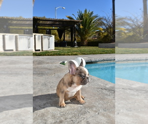 French Bulldog Puppy for Sale in LAS VEGAS, Nevada USA