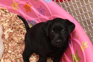 Labrador Retriever Puppy For Sale in VIRGINIA BEACH, VA