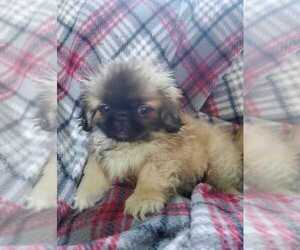 Pekingese Puppy for sale in JOICE, IA, USA