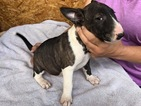 Akc bull terrier puppies