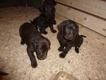 Labrador Retriever Puppy For Sale in MILTON, NH