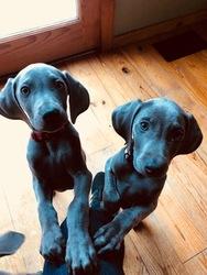 Weimaraner Puppy For Sale in PIGEON FORGE, TN, USA