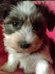 Morkie-Yorkshire Terrier Mix Puppy For Sale in COLORADO SPRINGS, CO, USA