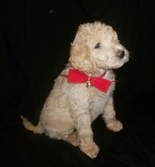 Labradoodle Puppy for sale in REDDING, CA, USA