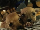 Chihuahua Puppy For Sale in WOBURN, MA, USA