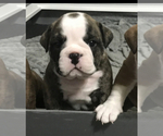 Small Photo #3 Bulldog Puppy For Sale in OAK RIDGE N, TX, USA
