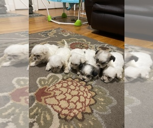 Mal-Shi Puppy for sale in DINWIDDIE, VA, USA