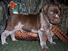 German Shorthaired Pointer Puppy For Sale in ELBERTA, Alabama,