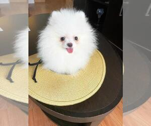 Pomeranian Puppy for sale in AVENTURA, FL, USA