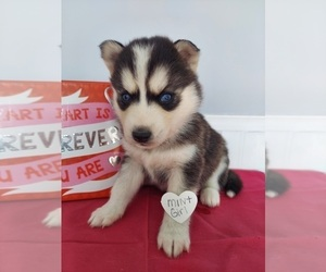 Siberian Husky Puppy for Sale in GAFFNEY, South Carolina USA