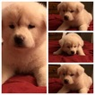 Akita Puppy For Sale in PEARL, Mississippi,