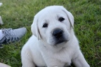 Labrador Retriever Puppy For Sale in LAWTON, OK