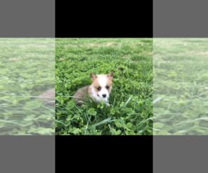 Pembroke Welsh Corgi Puppy for Sale in ORONOGO, Missouri USA