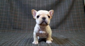 View Ad French Bulldog Puppy For Sale Near California Los Angeles