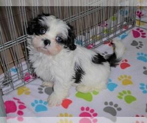 Shih Tzu Puppy for Sale in ORO VALLEY, Arizona USA