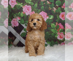 Puppy 13 Goldendoodle