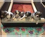 Australian Shepherd Puppy For Sale in WASHOUGAL, WA, USA