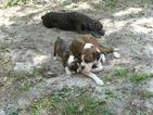 Boxer Puppy For Sale in SAINT PETERSBURG, Florida,