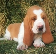 Basset Hound Puppy For Sale in ANGLETON, TX, USA