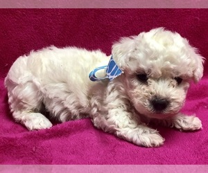 Bichon Frise Puppy for sale in BUFFALO, MO, USA