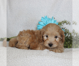 Goldendoodle-Poodle (Miniature) Mix Puppy for sale in GAP, PA, USA