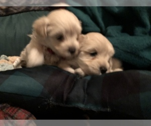 Maltipoo Puppy for Sale in MAUMELLE, Arkansas USA