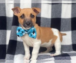 Jack-Rat Terrier Puppy for sale in LAKELAND, FL, USA