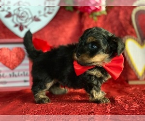 YorkiePoo Puppy for sale in LANCASTER, PA, USA