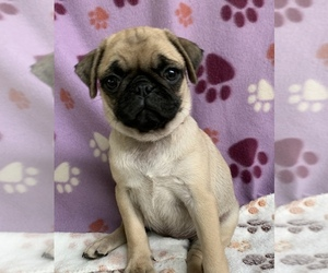 Pug Puppy for sale in CHATTANOOGA, TN, USA