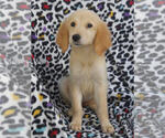 Small #11 Golden Retriever