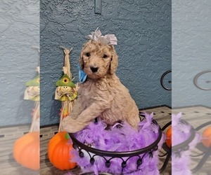 Poodle (Standard) Puppy for Sale in TAMPA, Florida USA