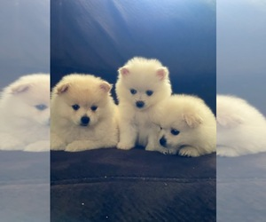 Pomeranian Puppy for sale in SACRAMENTO, CA, USA