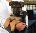 German Shepherd Dog Puppy For Sale in CARTERSVILLE, GA