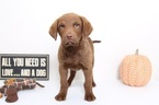 Chesapeake Bay Retriever Puppy For Sale in NAPLES, FL, USA