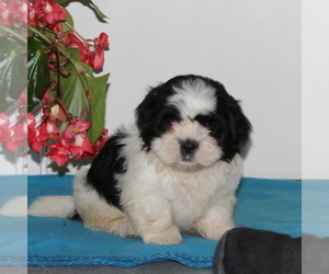 Zuchon Puppy for sale in QUARRYVILLE, PA, USA