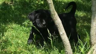 Labrador Retriever Puppy For Sale in FRUITPORT, MI, USA
