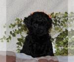 Small #2 Poodle (Toy)-Yorkiepoo Mix