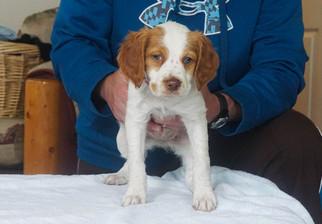 Brittany Puppy For Sale in LA GRANDE, OR