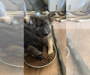 German Shepherd Dog Puppy for sale in APPLE VALLEY, CA, USA