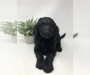 Goldendoodle Puppy for sale in ROCKY MOUNT, NC, USA